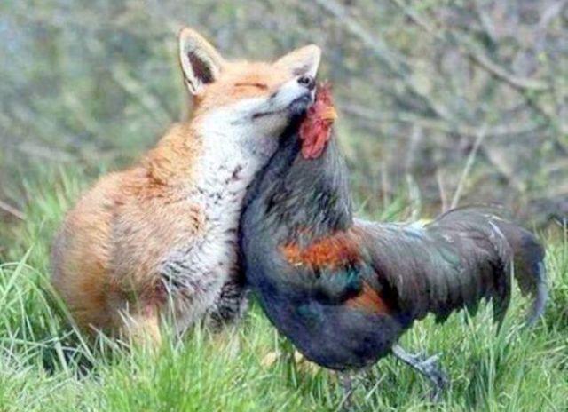 renard-poulet